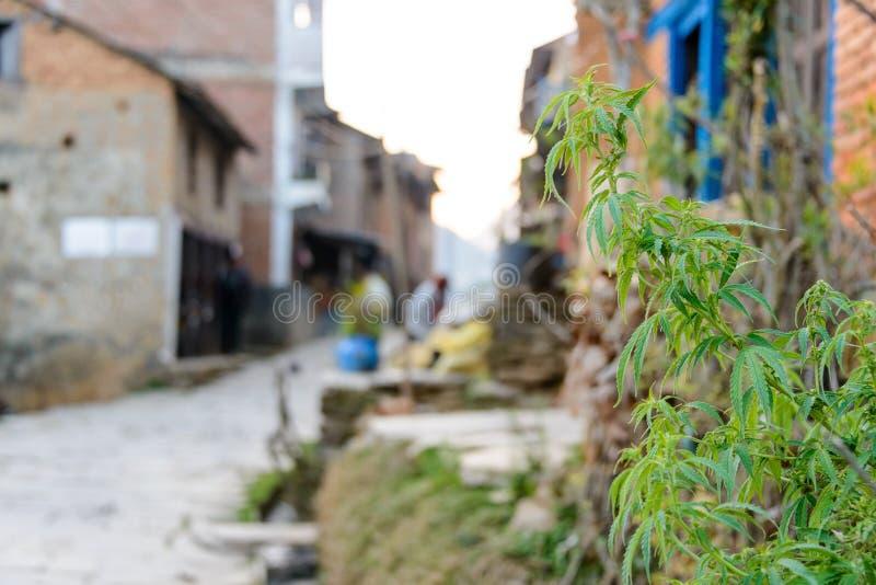 Marijuana som växer i en nepalesisk by arkivbild