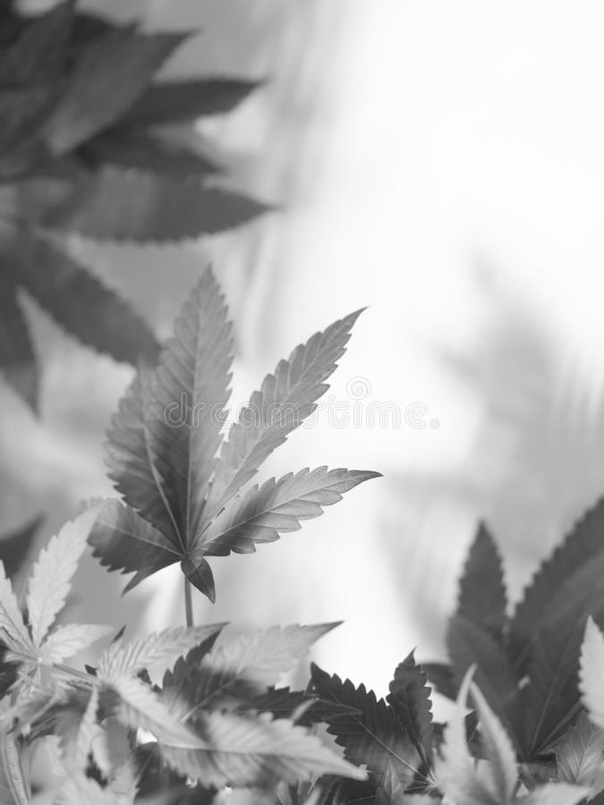 Marijuana. Young marijuana plant, Cannabis Background. Low depth of field stock images