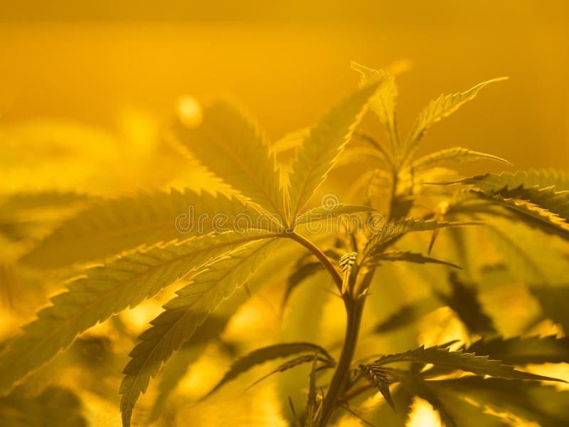 Marijuana royalty free stock photography