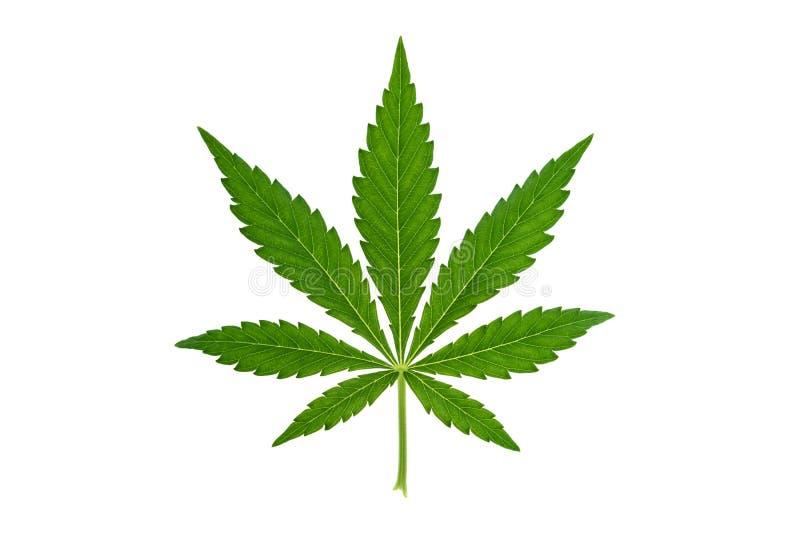 marijuanablad på vit bakgrund royaltyfri bild