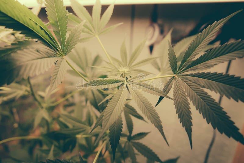 Marijuanablad växer Op arkivfoto
