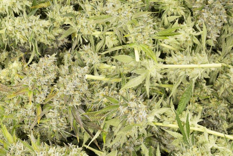 Marijuanablomningen slår ut (cannabis), hampaväxten arkivbilder