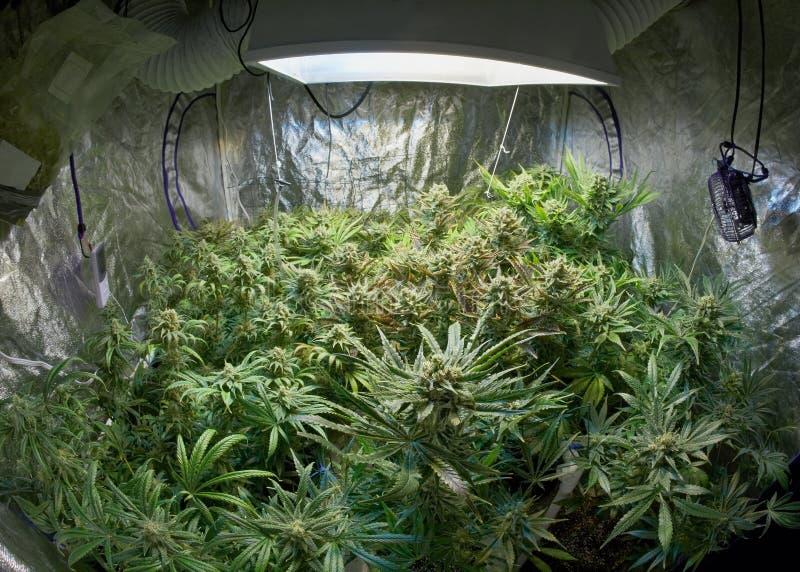 Marijuanaträdgård royaltyfria bilder