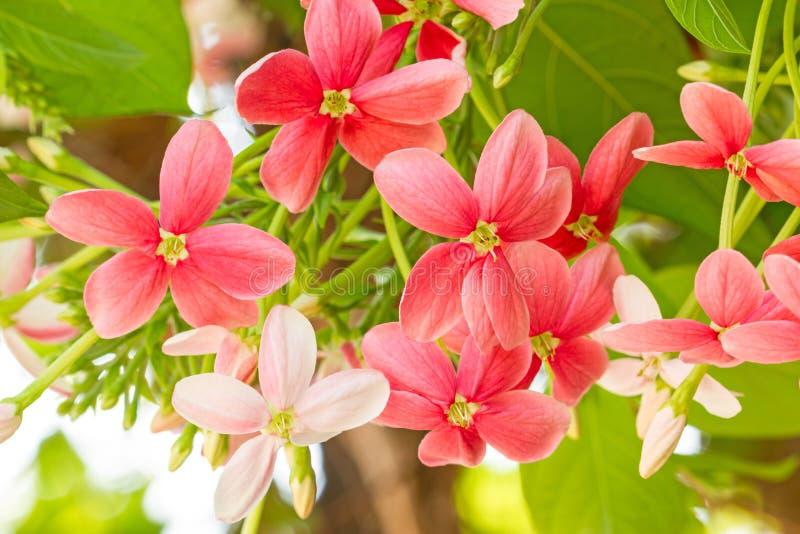 Marin coloré de Drunen de fleur, creeperQuisqualis de Rangoon indica images libres de droits