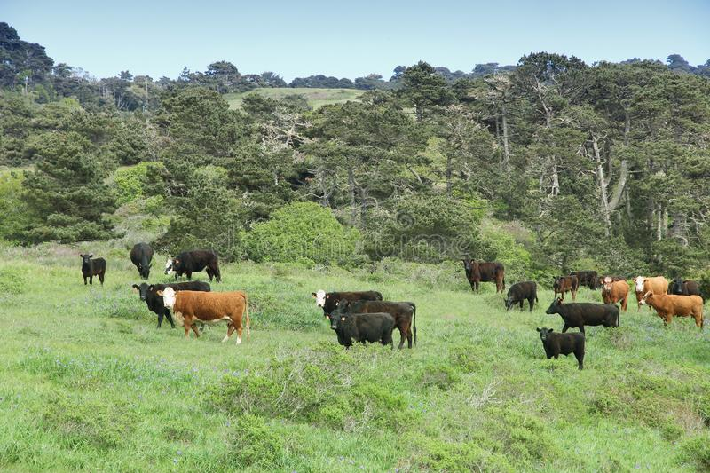 Marin County cattle. Ranch in California, USA. Grazing cows stock photo