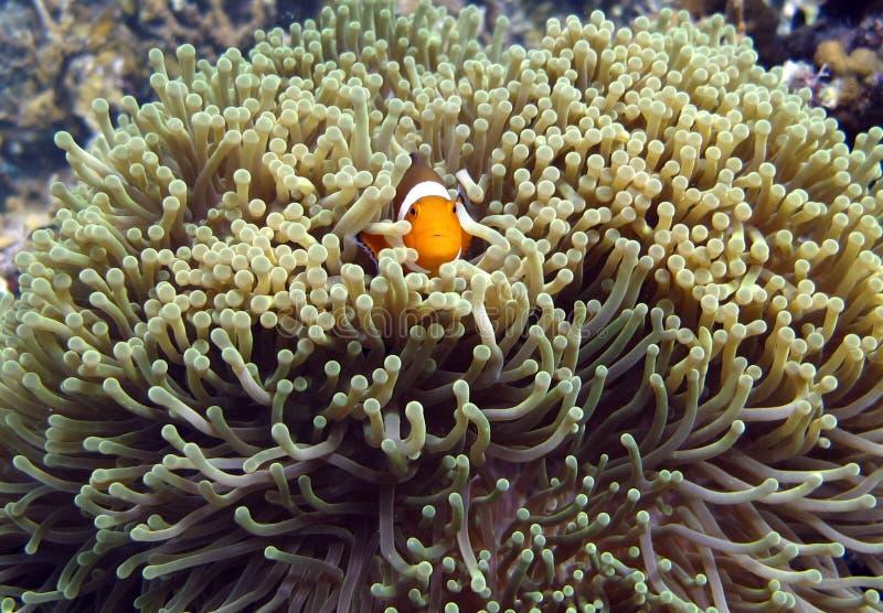 Marin- djura Clownfish och havsanemoner royaltyfria bilder