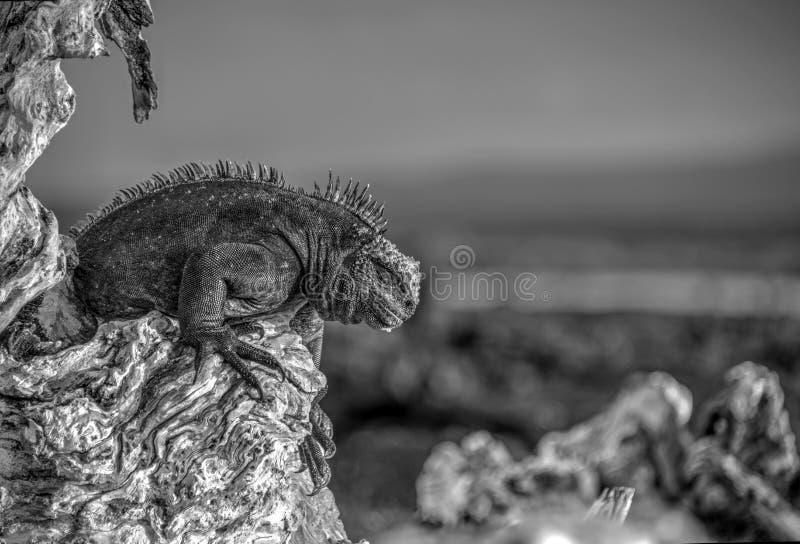 Marin- leguan, Fernandina ö, Galapagos arkivfoton