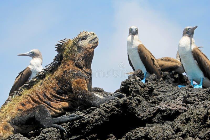 Marin- leguan med blåa footed dumskallar, dumskalle, Sulanebouxii och Amblyrhynchuscristatus, på Isabela Island, Galapagos royaltyfri foto