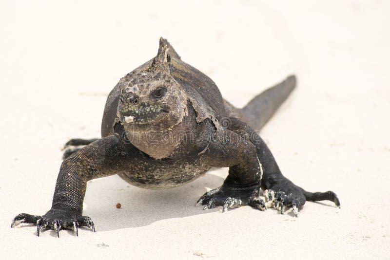Marin- leguan på Galapagos öar arkivfoto
