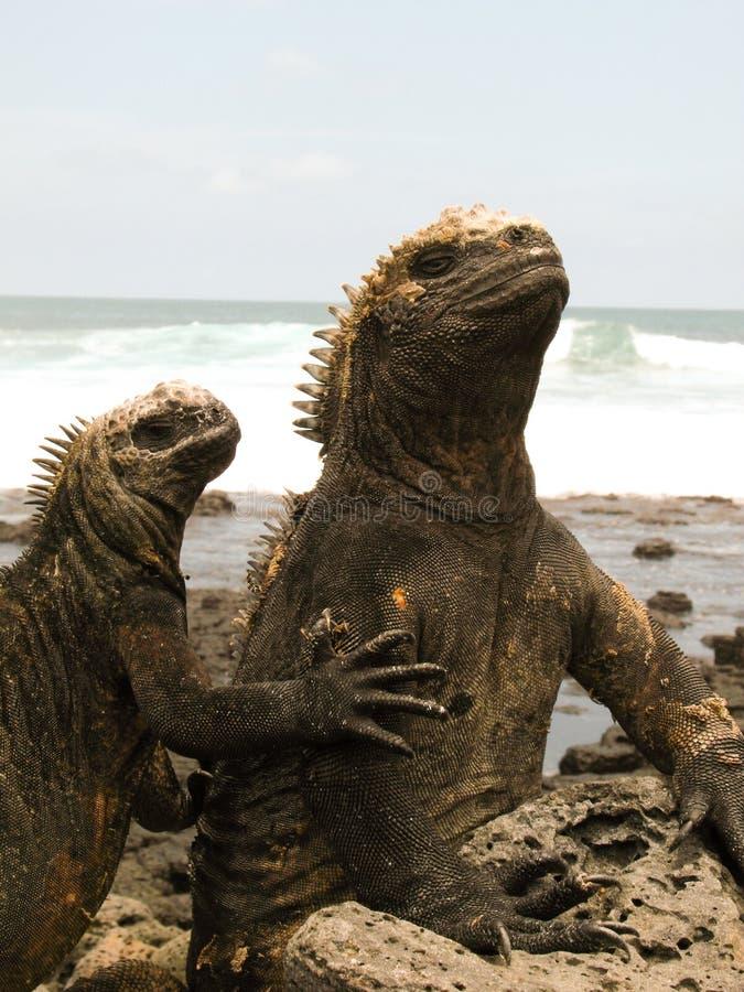 Marin- leguaner på islaSanta Cruz galapagos öar arkivfoto