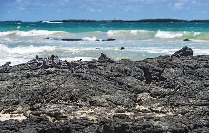 Marin- leguaner som vilar p? lava, vaggar, Galapagos ?ar, Ecuador royaltyfri fotografi