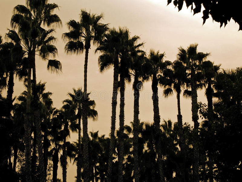 Marina Palms. This is an image of palm trees at sunset in Marina del Rey, CA royalty free stock photos