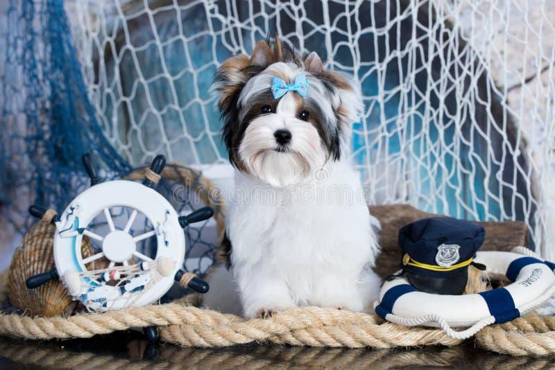 Marinaio dell'Yorkshire terrier del biewer del cucciolo fotografie stock