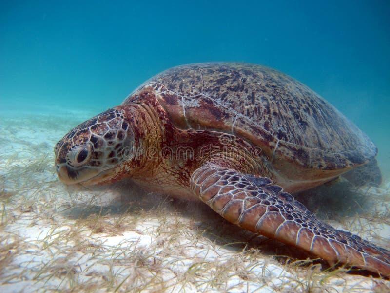 Marine animal Green Turtle Eating grass royalty free stock photo