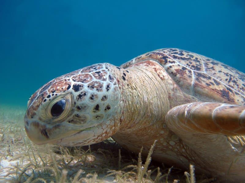 Marine animal Green Turtle Eating grass royalty free stock image