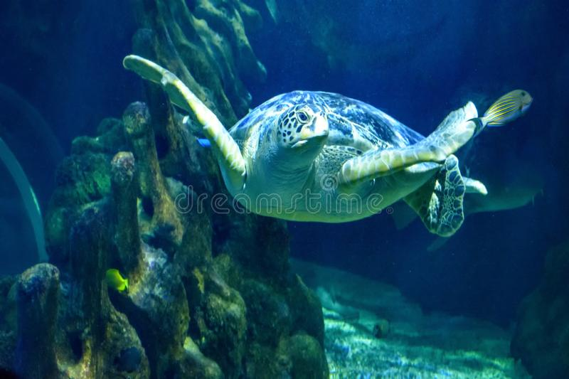 Marine Aquarium Natural Life Blue Water Turtle royalty free stock photography