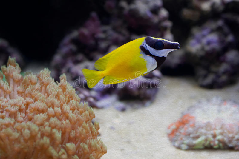 Marine aquarium tank with yellow fish royalty free stock image
