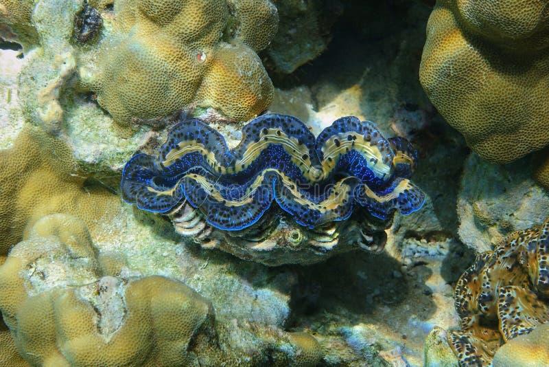 Marine bivalve mollusk maxima Tridacna maxima. Underwater marine bivalve mollusk maxima clam, Tridacna maxima, Pacific ocean, Bora Bora, French Polynesia royalty free stock photography