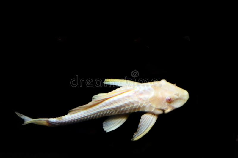 Marine deep sea live fish lies on the bottom isolated on a black background stock photography