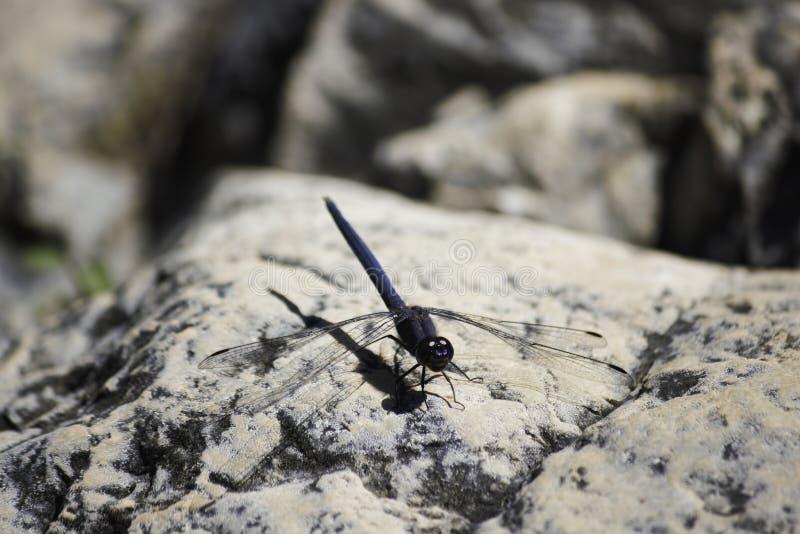 Marine Dropwing-Libelle trithemis furva, das auf einem Flussufer Boulder sitzt lizenzfreie stockfotos