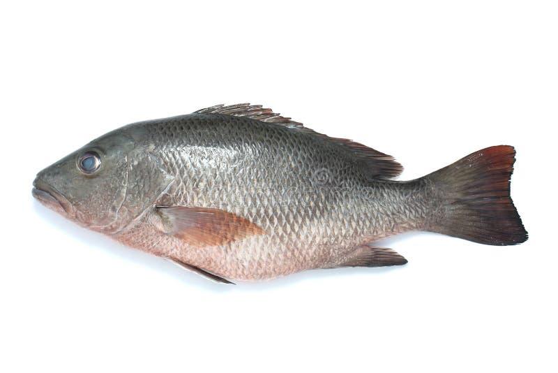 Download Marine fish stock image. Image of marine, grey, fresh - 11898159