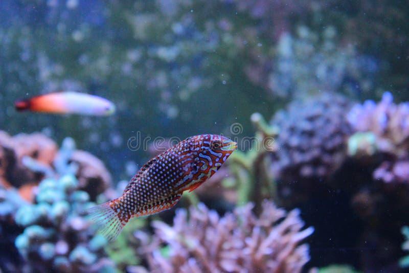 Marine Fish aisló fotografía de archivo libre de regalías