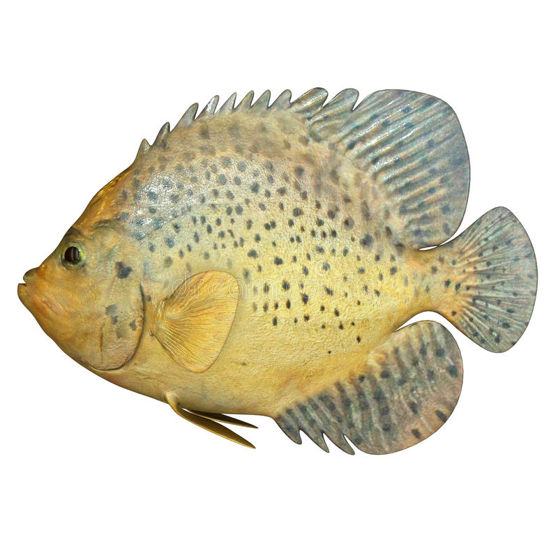 Marine Fish. A fish is any member of a paraphyletic group of organisms that consist of all gill-bearing aquatic craniate animals that lack limbs with digits stock image