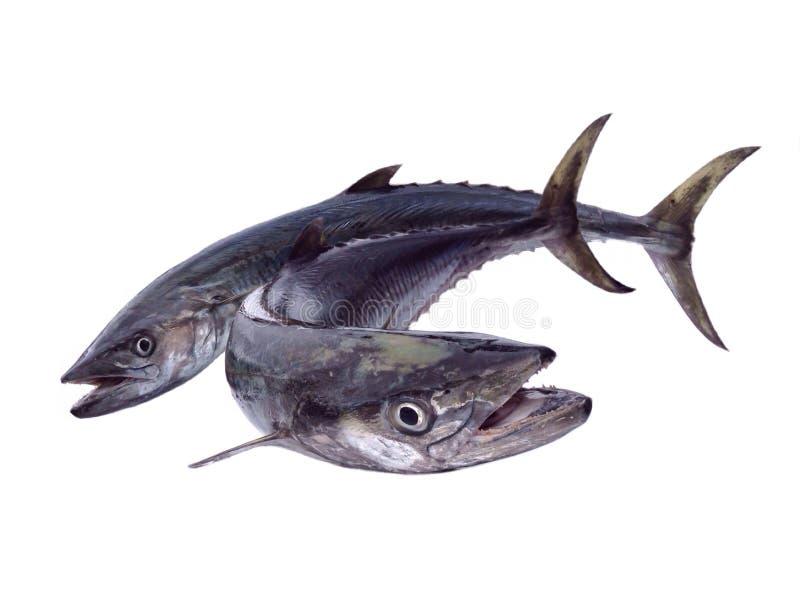 Marine fish. Giant king mackerel fish isolated,hunter fish royalty free stock image
