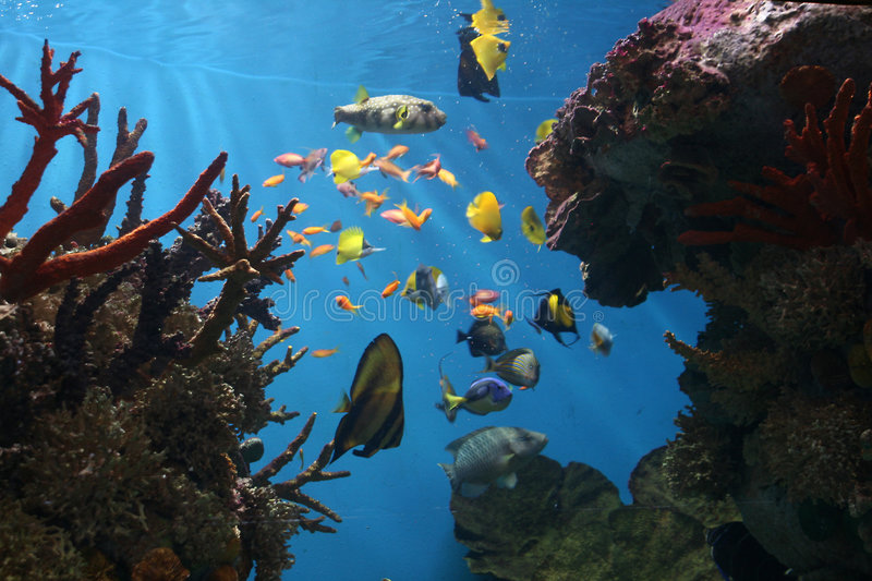 Marine Fish - Tropical Coral Reef. Coral Reefs are aragonite structures produced by living organisms, found in marine waters with little to no nutrients in the royalty free stock photos