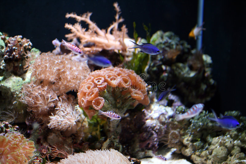 Marine Fish - Tropical Coral Reef. Coral Reefs are aragonite structures produced by living organisms, found in marine waters with little to no nutrients in the stock images