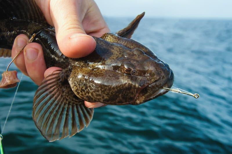 Marine goby sea fishing trophy royalty free stock photo