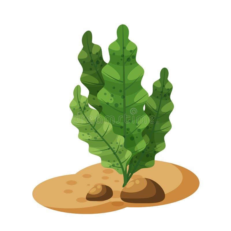 Marine green algae seaweed, plant underwater, isolated on white background, vector, cartoon style. Marine green algae seaweed, plant underwater, isolated on royalty free illustration