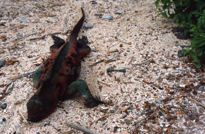 Marine Iguana Royalty Free Stock Photo