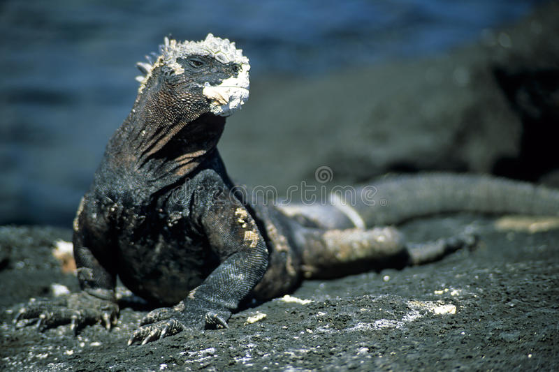 Marine Iguana fotografia de stock royalty free