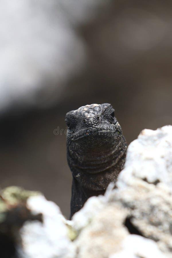 Marine Iguana Baby images libres de droits