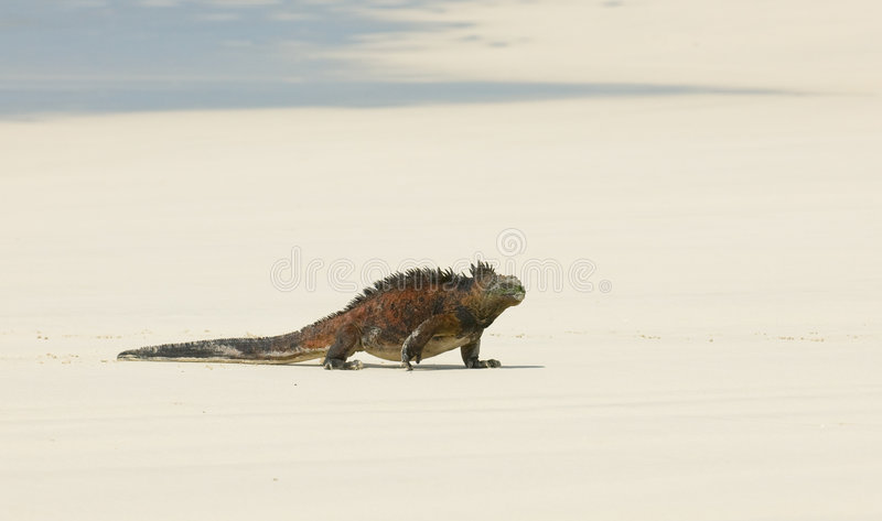 Marine iguana in the beach royalty free stock images