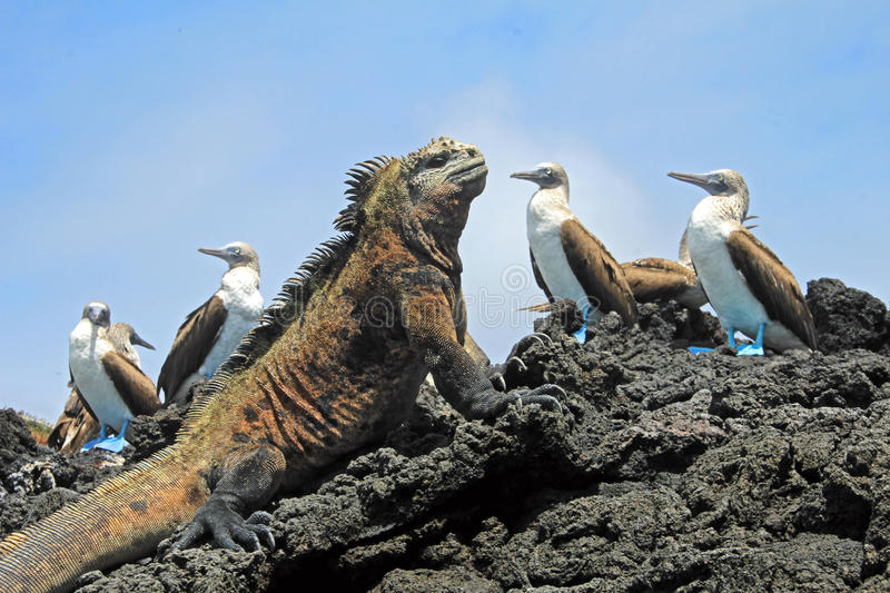 Marine iguana with blue footed booby on Galapagos royalty free stock photo