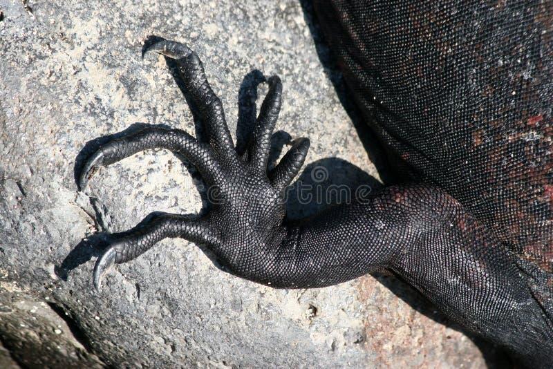 Download Marine Iguana Claws, Galapagos Royalty Free Stock Photos - Image: 5165848