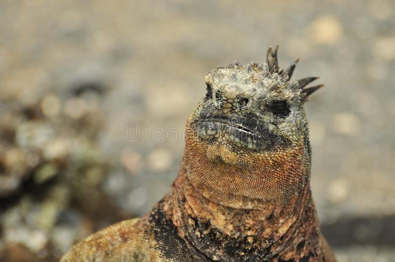 Marine Iguana Close Up fotografie stock