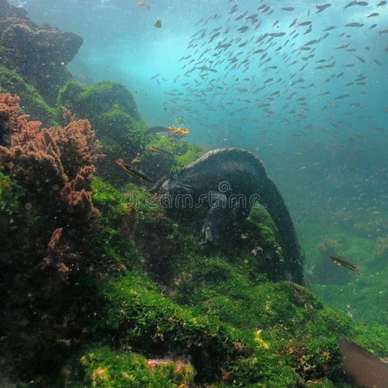 Marine Iguana dykning arkivfoton