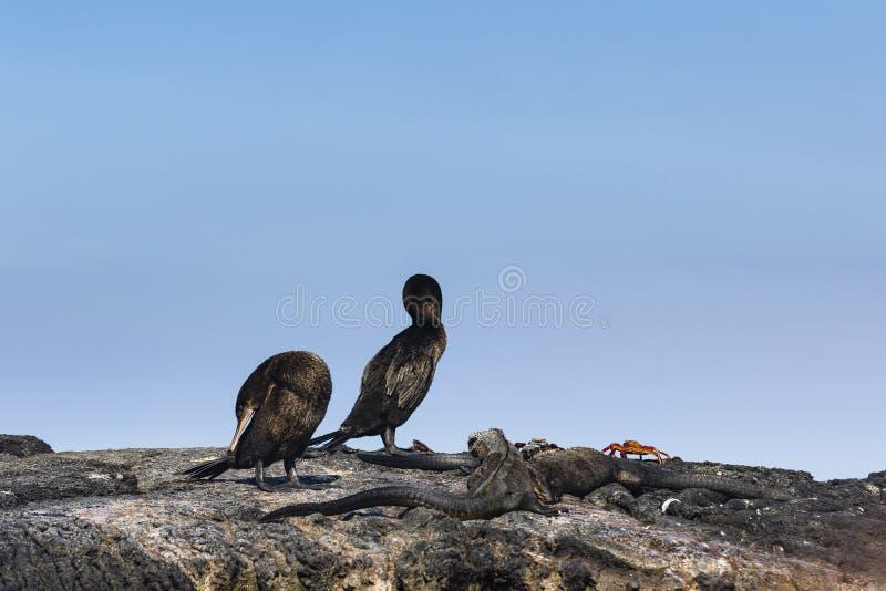 Marine Iguana, flightless Cormorant & Sally-lightfoot crab. At Isabela, Galapagos stock photo