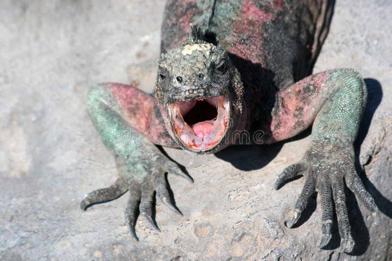 Marine Iguana, Galapagos stock photos