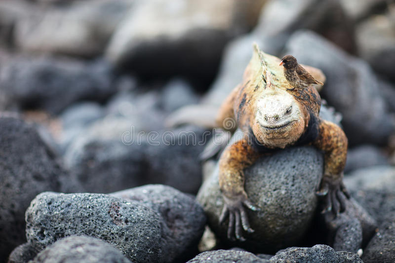Download Marine Iguana And Galapagos Finch Stock Photo - Image: 28832764