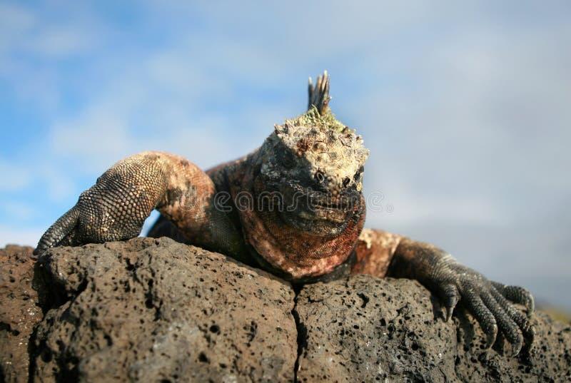 Download Marine Iguana Gaze Stock Photos - Image: 6128863