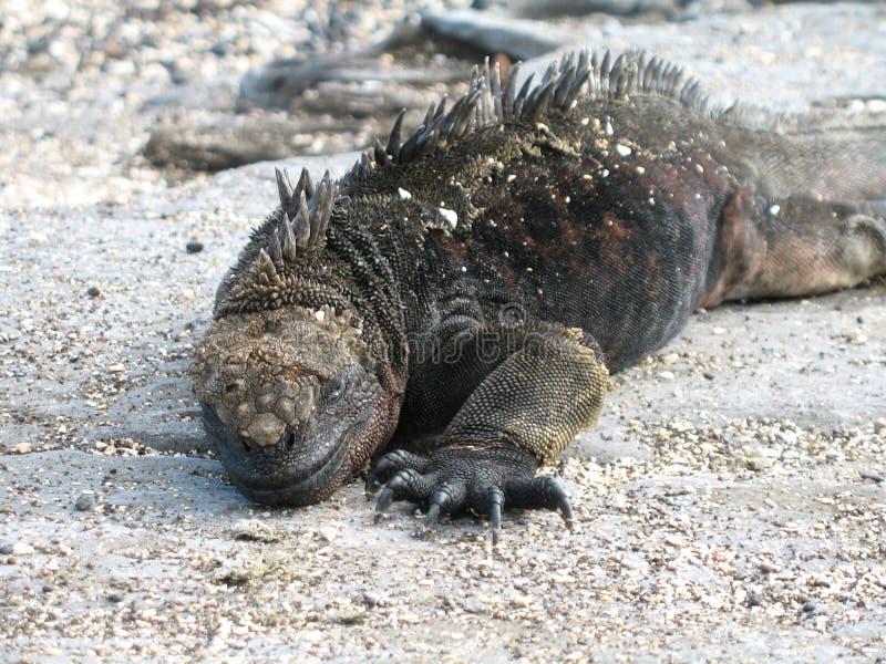 Marine Iguana i Galapagos royaltyfri foto