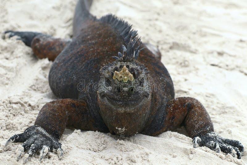 Marine Iguana lustig lizenzfreie stockbilder