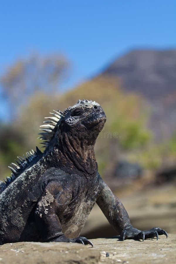 Download Marine Iguana pose stock photo. Image of santiago, island - 22092828