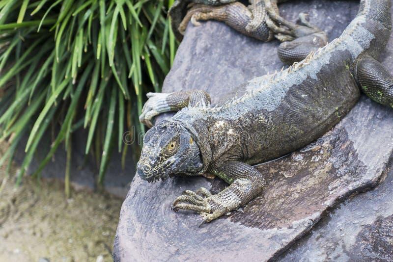 Marine iguana resting on the stone royalty free stock photos