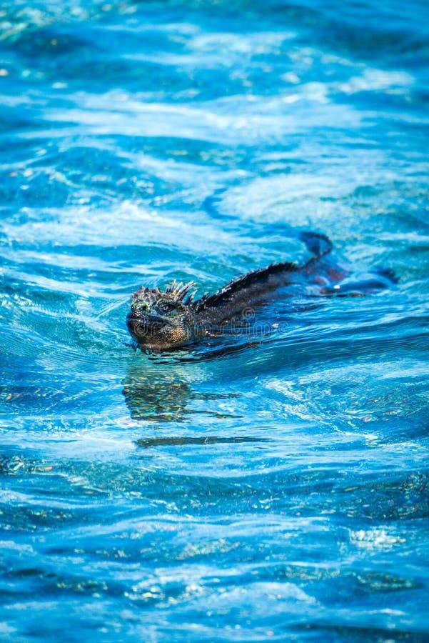 Marine iguana swimming in shallow blue waters stock image