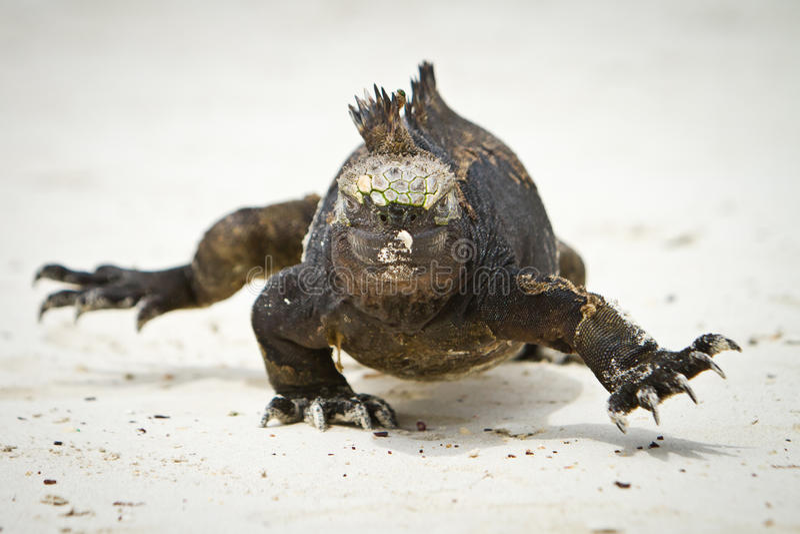 Marine Iguana walking straight at you royalty free stock photos
